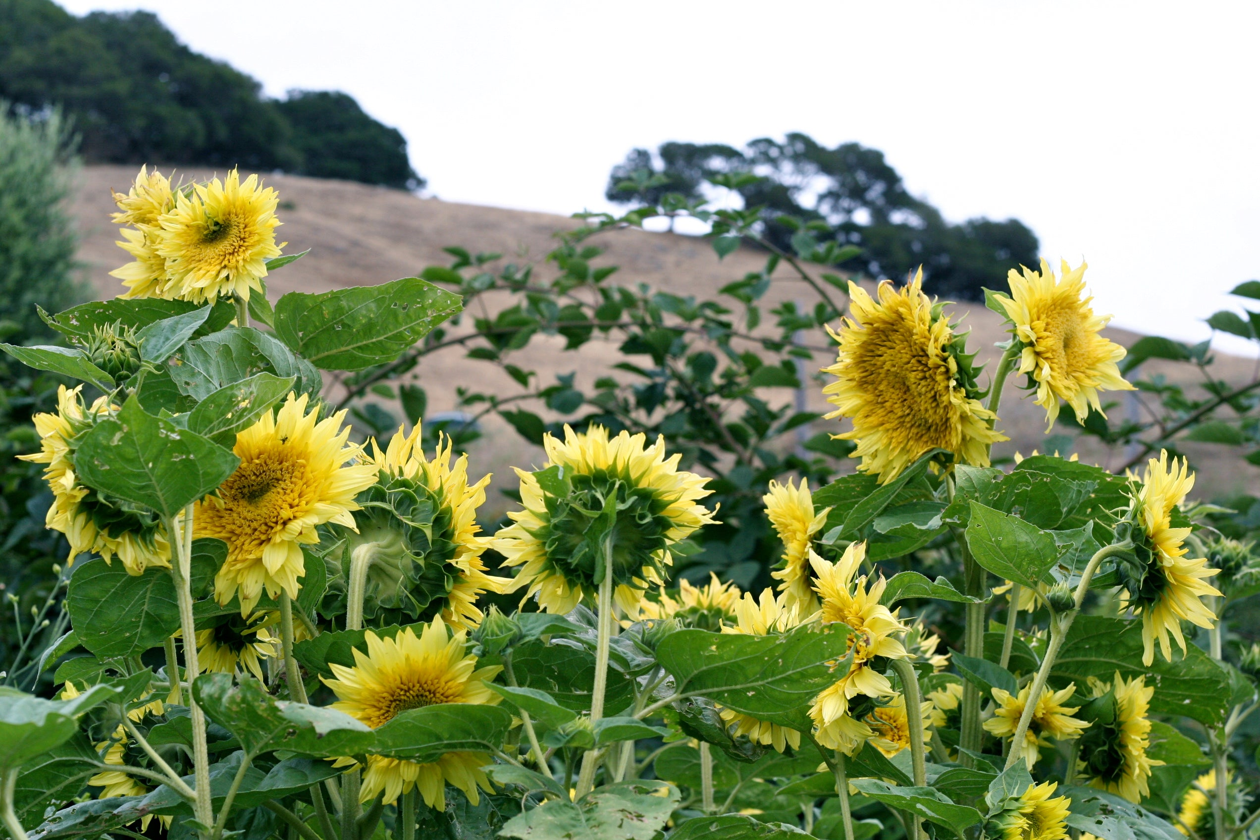 sunflowers looking out on the hills of mcevoy ranch