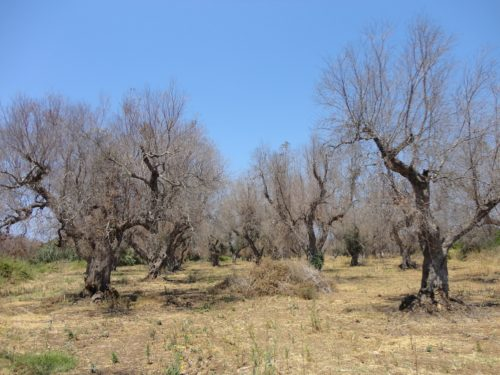 Olive Trees Dying