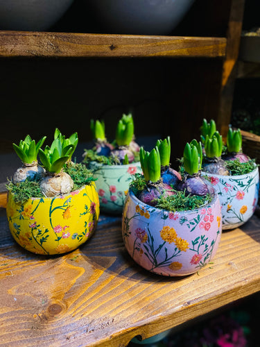 Hyacinth - a trio of bulbs in quirky printed pot - White