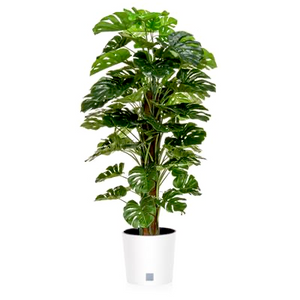Interior Planting - Monstera in Round White planter - Strelitzia's Floristry & Irish Craft Shop