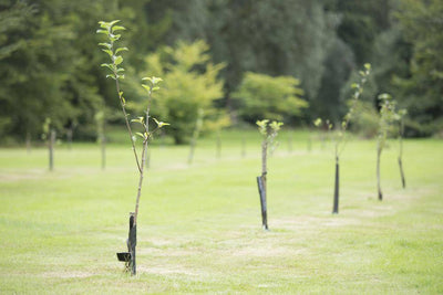 Sequestering Carbon, Why New Trees are Better