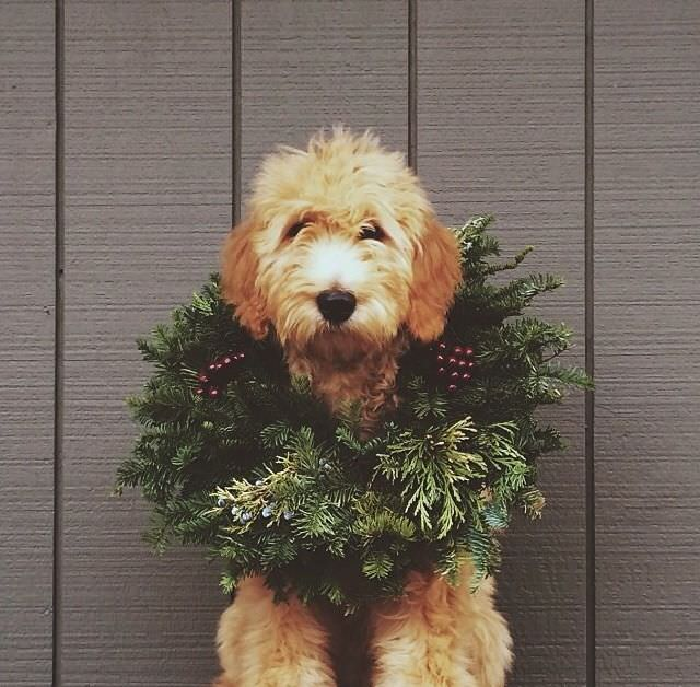holiday puppy, christmas puppy, christmas dog, golden doodle, golden doodle puppy, golden doodle christmas, puppy with wreath, puppy with christmas decor