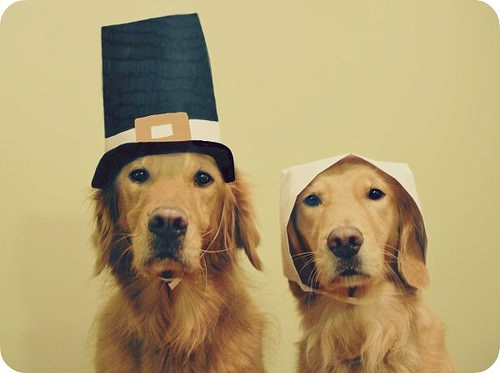 Thanksgiving, Golden Retriever, Pilgrim Dogs