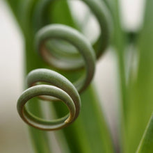 Load image into Gallery viewer, Albuca spiralis: Frizzle Sizzle 12cm
