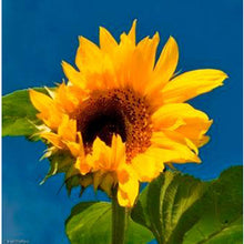 Load image into Gallery viewer, 50 lb. PEREDOVIC SUNFLOWER SEE