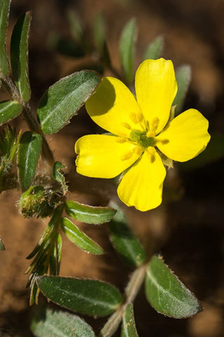 Tribulus Terrestris bindii flower