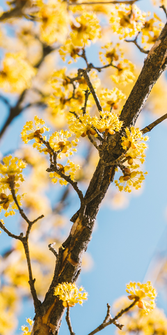 Cornelian cherry branch with flowers