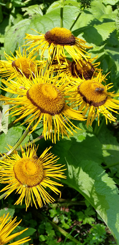 Elecampane flowers in natural surrounding
