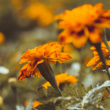 Pot marigold flowers with blurred background
