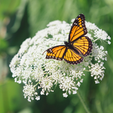 White yarrow flower with butterfly on it
