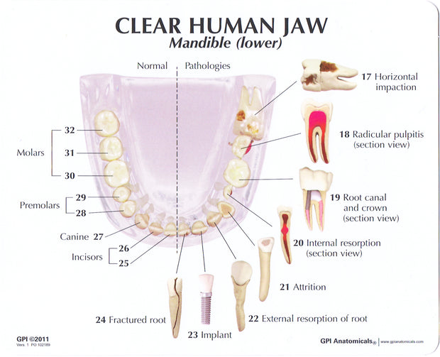 Clear Human Jaw With Teeth