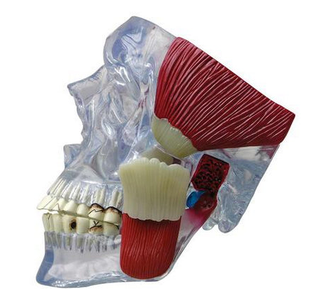Temporomandibular joint (TMJ)