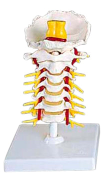 Flexible Vertebral Column Region Model