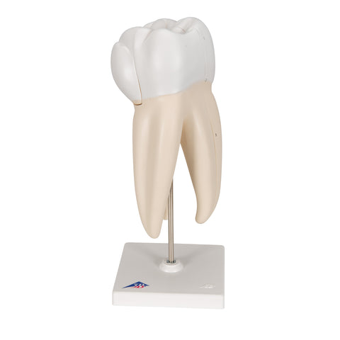 Upper Triple-Root Molar, 3 part
