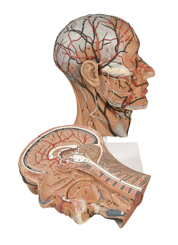 Human Cross-sectional Head