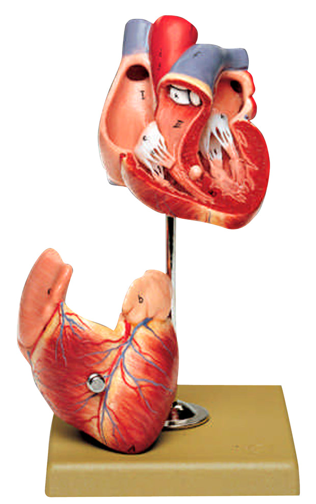 Two-Part Heart Model