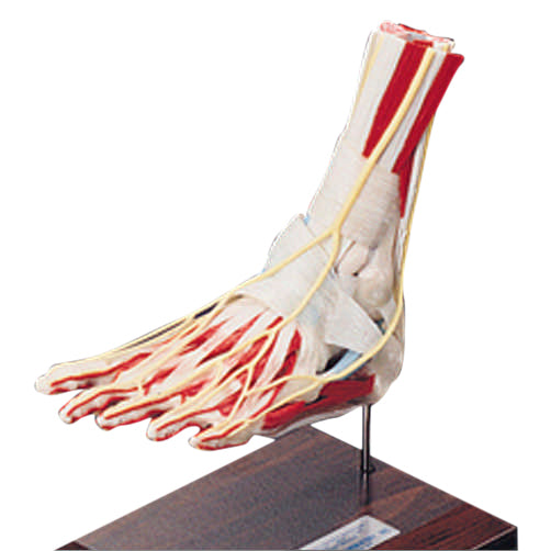Deluxe Foot and Ankle Model