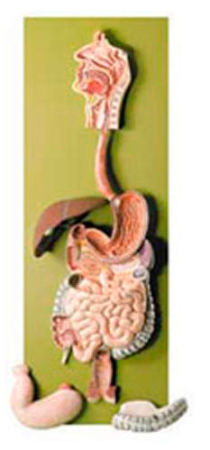 Human Digestive Tract Model