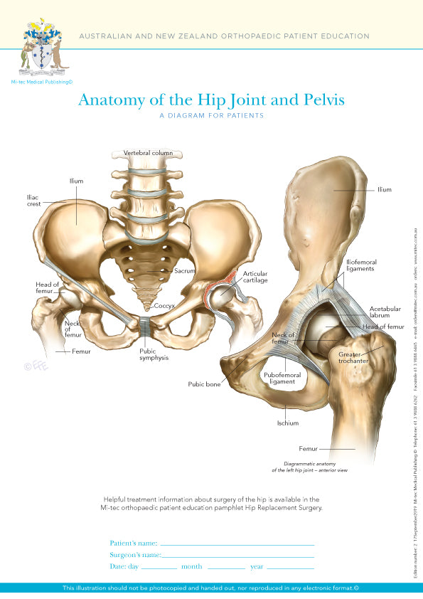 Normal Anatomy of the Hip Joint