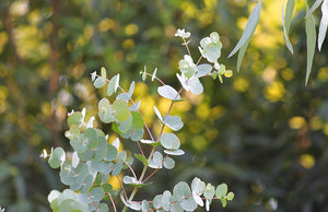 Eucalyptus - Soy - Fragrance Oil