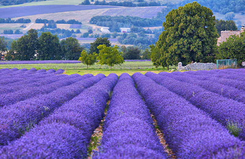 Lavender Fields - Fragrance Oil