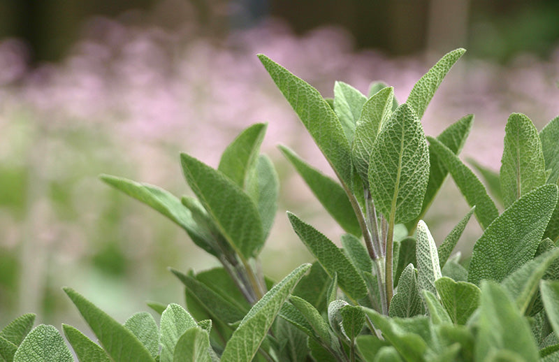 Sage - Fragrance Oil