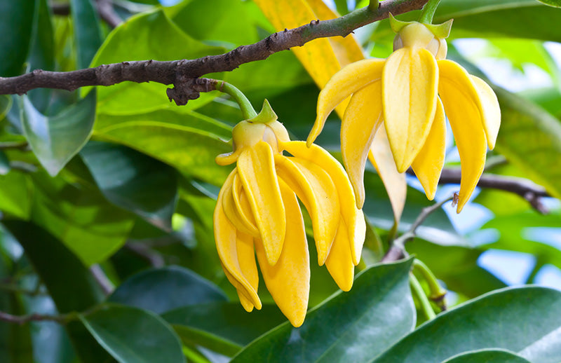Ylang Ylang - Fragrance Oil