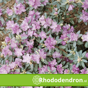Dwerg Rhododendron 'Arends Favorit'