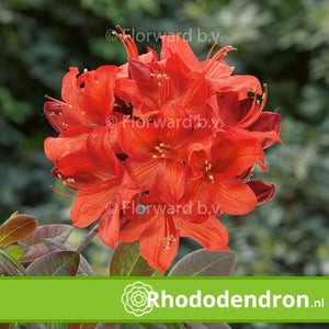 Azalea Mollis 'Kosters Brilliant Red'