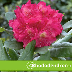 Rhododendron 'Pierce American Beauty'