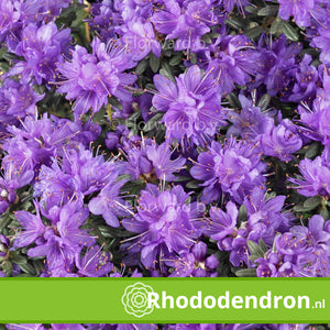 Dwerg Rhododendron 'Purple Pillow'
