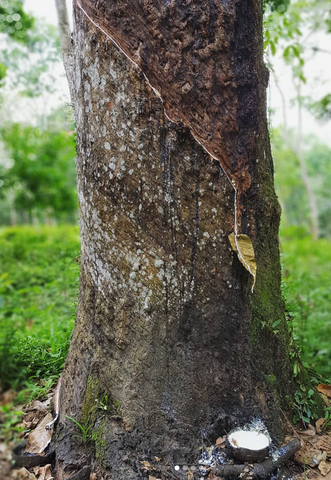 Photo of rubber tree being tapped
