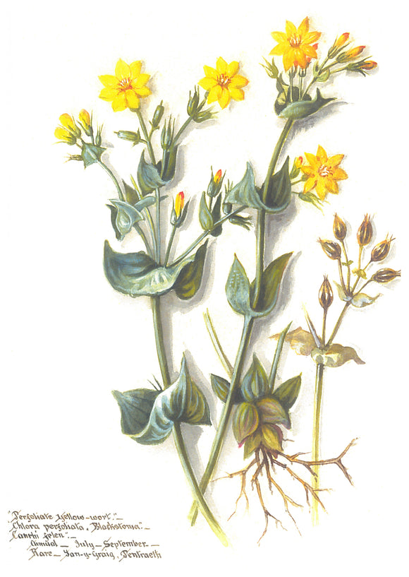 Massey Sisters Card - Perfoliate Yellow Wort