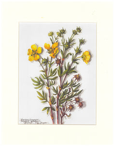 Massey Sisters Print - Shrubby Cinquefoil