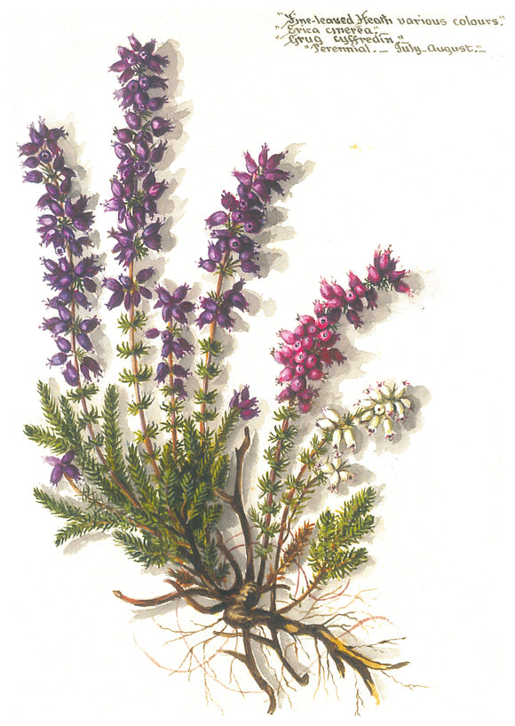 Massey Sisters Card - Fine Leaved Heath
