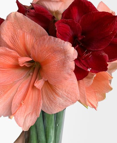 Peppermint Puff Amaryllis (7 stems, vase incl.)