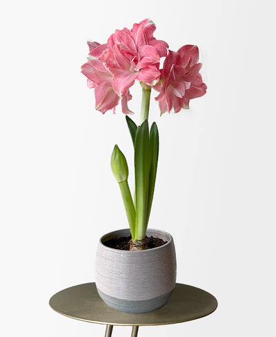 Double Pink Potted Amaryllis