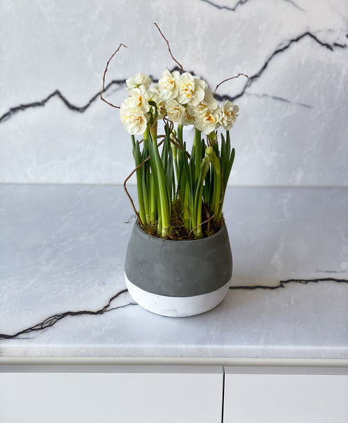 Potted 'Bridal Crown' Double Daffodil