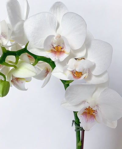 Petite Blanc Orchid