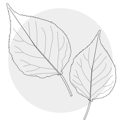 Apricot Leaves
