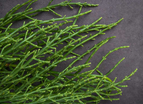 sea fennel