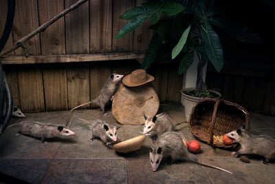 American Possums Canvas - AwesomePossumz
