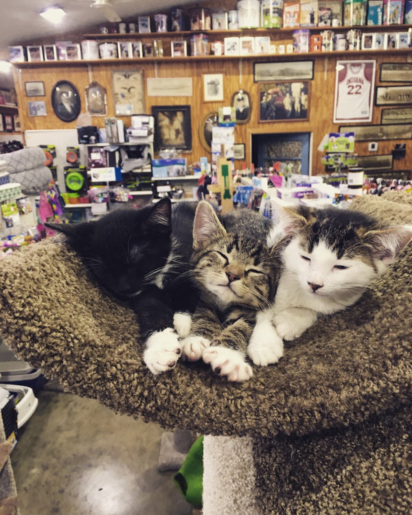 Kittens at T&T Pet Food and Supply in Bloomington, Indiana