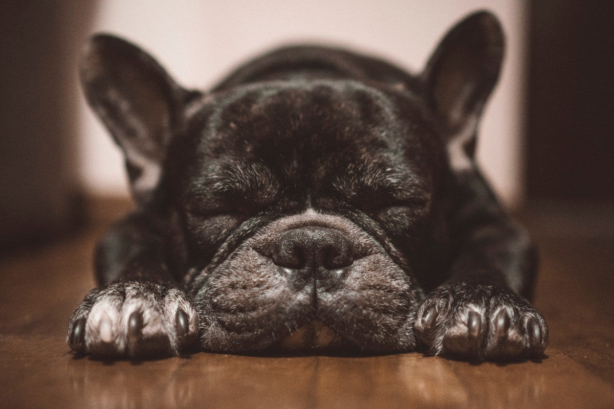 My frenchie sleeps while i was busy cooking