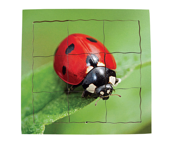 Layered Life Cycle: Ladybird