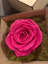 HOT PINK ROSE, LIMITED EDITION