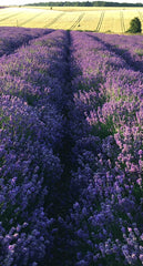 COTSWOLD ENGLISH LAVENDER