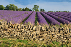 Lavender Fields in England