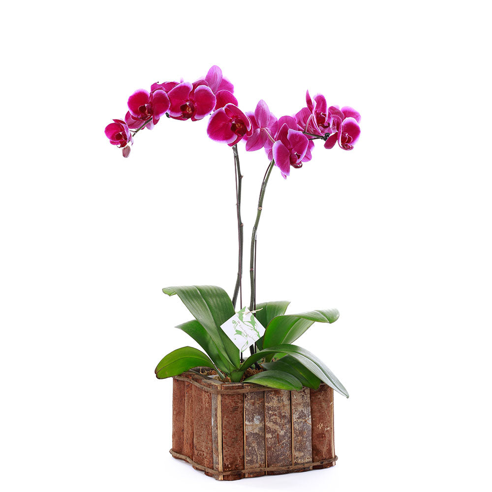 Purple Phalaenopsis in a wooden box.