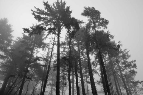"""Trees in the Mist"""